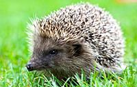 Hedgehog in the garden, Venice, Italy