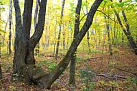 Hardwood forest during the autumn months along the Kancamagus Highway route 112 which is one of New England´s scenic byways  Located in the White Moun...