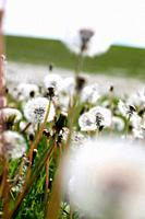 Field of Dandelions, Parachute Balls in Beautiful Natural Setting