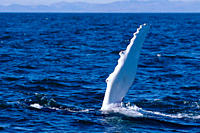 Humpback whale Megaptera novaeangliae slapping water with long flipper Iceland