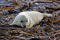 A Grey Seal pup Halichoerus grypus resting on seaweed looking right at the camera, Pentland Firth, Scotland