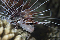 Fire Lionfish Pterois radiata, Fire Lionfish clearly showing fin rays, Red Sea