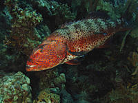 A Red Sea Coral Grouper Plectropomus pessuliferus marisrubri being cleaned by a small cleaner wrasse Dahab, Red Sea, Egypt