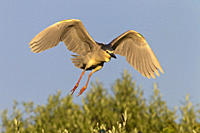 Black_crowned Night Heron Nycticorax nycticorax flying