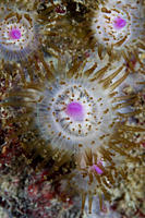 Jewel Anemones Corynactis viridis, Sark, Channel Islands
