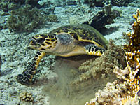 Dave, the famous Hawksbill turtle Eretmochelys imbricata from Sharm El Sheikh, rescued after a boat propellor accident, enjoying a meal with his parti...