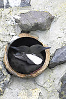 Black Guillemot Cepphus grylle pair standing in a drain pipe that they are nesting in Black Guillemots nest in drains and holes in the sea wall in the...