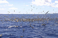 Cory's Shearwaters Feeding with Spotted Dolphin, Calonectris diomeda and Stenella frontalis Azores A4 only