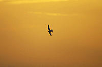 Arctic Tern Sterna paradisaea flying silhouetted against orange early morning sky, Soroby, Argyll, Scotland, UK