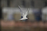 Common Tern Sterna hirundo flying with fish in mouth in Oban town centre while fishing Oban Argyll, Scotland, UK