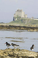 Oystercatcher Haematopus ostralegus, Duart Castle in background Hebrides, Scotland