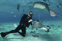 Diver with Sting rays, Stingray City Sandbar, Grand Cayman Island, Cayman Islands, Caribbean