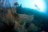 Divers over Gorgonian sea fans, Red Sea