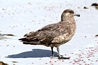 Antarctic skua on beach amongst washed up krill Catharacta antarctica Carcass Island, Falkland Islands