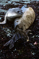Young elephant seal resting it's chin on it's mother her flippers spread Mirounga leonina Antarctica