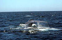 Blue whale fluking with water falling off trailing edge Balaenoptera musculus West of North Isabela Island, Galapagos, Ecuador