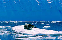 Leopard Seal Hydruga leptonyx lying and resting on ice Pl&#200;neau Island, Antarctica