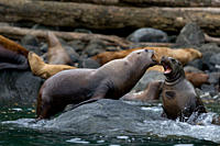 Northern Steller sea lion Eumetopias jubatus colony on sail rock in Frederick Sound, southeastern Alaska Here young bulls are mock_fighting in the non...