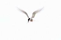 Arctic Tern Sterna paradisaea flying Ganavan, Oban, Scotland, UK