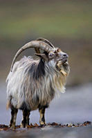 Feral Goat Capra hircus eating seaweed on carsaig beach on Mull Argyll and the Islands, Scotland, UK
