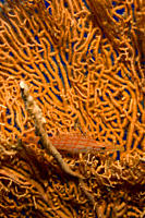Small Long nose hawkfish Oxycirrhites typus hiding in the arms of a gorgonian Dahab, Egypt