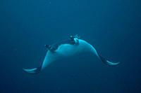 Pelagic Manta Birostris or Giant Manta Ray Ecuador