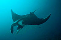 Pelagic Manta Birostris or Giant Manta Ray Ecuador