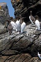 Guillemot Uria aalge British Channel Islands