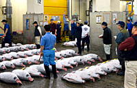 Tuna auction under way at Tsukiji Wholesale Fish Market, the world´s largest fish market in Tokyo, Japan, Asia
