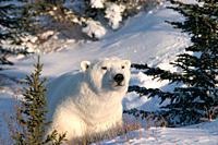 Adult male Polar Bear, Ursus maritimus, in fresh snow and spruce trees near Churchill, northern Manitoba, Hudson Bay, Canada