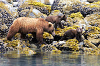 Coastal Brown Bear Ursus arctos horibilis mother with three cubs foraging at low tide in Glacier Bay National Park, Southeast Alaska, USA