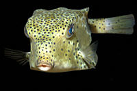 Shortnose boxfish, Rhynchostracion nasus, at night, Dumaguete, Negros Island, Philippines