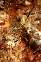 Common Prawn Palaemon serratus Babbacombe, Torquay, South Devon, UK RR