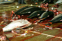 Yellowfin tuna carcasses, Thunnus albacares, Suao fish market, Taiwan Republic of China