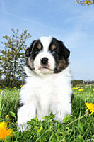Australian Shepherd dog _ puppy sitting on a meadow