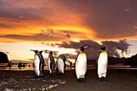 Sunrise on the king penguin Aptenodytes patagonicus breeding and nesting colonies at St Andrews Bay on South Georgia Island, Southern Ocean King pengu...