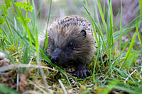 Hedgehog Erinaceus europaeus walking in grass Hedgehog Erinaceus europaeus walking in grass Argyll, Scotland, UK