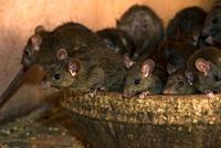 Brown rats Rattus norvegicus at the Karni Mata temple at Deshnok, Rajasthan, India