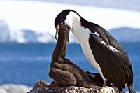Adult Antarctic Shag, Phalacrocorax atriceps bransfieldensis from breeding colony on the Antarctic Peninsula It is also known as the Blue_eyed Shag an...