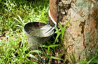 Rubber flows from the rubber tree into the cup after a raining night, Malaysia