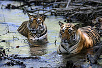 Bengal Tigers Panthera tigris tigris wild adult males, critically endangered Bandhavgarh Tiger Reserve India