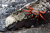 The endemic Galapagos marine iguana Amblyrhynchus cristatus with Sally lightfoot crab in the Galapagos Island Archipeligo, Ecuador MORE INFO: This is ...