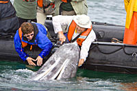 California Gray Whale Eschrichtius robustus in San Ignacio Lagoon on the Pacific side of the Baja Peninsula, Baja California Sur, Mexico Each winter t...