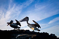 Adult brown pelican l and juvenile r Pelecanus occidentalis in the Galapagos Island Group, Ecuador Pacific Ocean