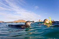Adult Galapagos penguin Spheniscus mendiculus split view underwater in the Galapagos Island Group, Ecuador This is the only species of penguin in the ...