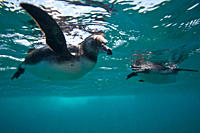 Adult Galapagos penguin Spheniscus mendiculus hunting fish underwater in the Galapagos Island Group, Ecuador MORE INFO: This is the only species of pe...