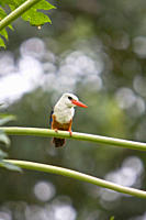 An adult Grey_headed Kingfisher Halcyon leucocephala on Fogo in Cape Verde roughly 450 kilometers 300 miles off the coast of Africa in the north Atlan...