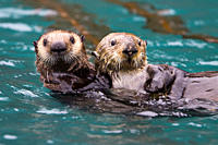 Adult sea otter Enhydra lutris kenyoni mother and pup in Inian Pass, Southeastern Alaska, USA Pacific Ocean MORE INFO: This sub_species ranges from th...