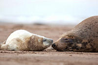Grey Seal Halichoerus grypus pup face to face with adult female mother November Donna Nook, Lincolnshire, UK