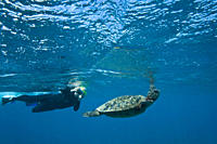Snorkeler with green sea turtle Chelonia mydas at cleaning station at Olowalu Reef on the west side of the island of Maui, Hawaii, USA MORE INFO The r...